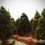 Mathews Tree Farm and Pumpkin Patch in Rensselaer, Indiana: Pick a Tree!