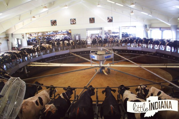 Fair Oaks Farms Milking Barn Cow Carousel