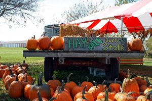 Harvest Tyme Pumpkin Patch in Lowell, Indiana: Pumpkins!