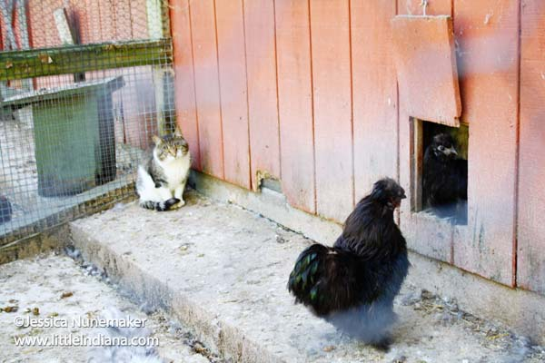 Stapps Circle S Ranch in Greensburg, Indiana The Cat Who Thinks He is a Chicken