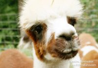 Whispering Pines Alpaca Farm in Nashville, Indiana