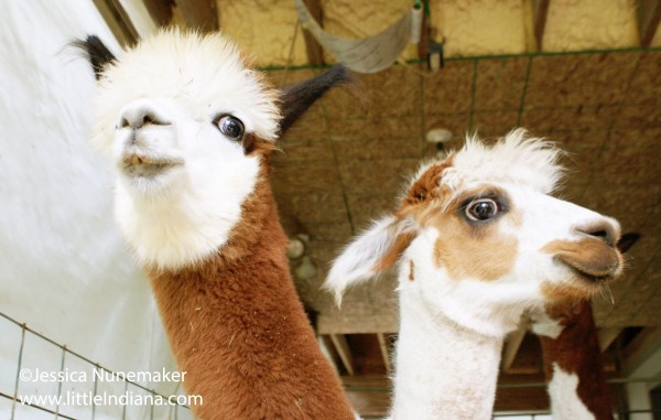Whispering Pines Alpaca Farm in Nashville, Indiana
