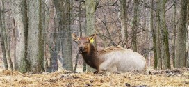 Bugle Valley Elk Farm Tours in Roachdale, Indiana