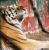 Great Cats of Indiana in Idaville, Indiana