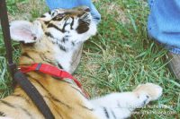 Stapps Circle S Ranch in Greensburg, Indiana Pet a Baby Tiger