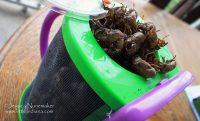 Cicada Guessing Contest