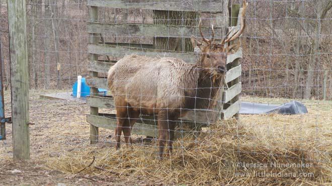 Bugle Valley Elk Farm Tours in Roachdale, Indiana